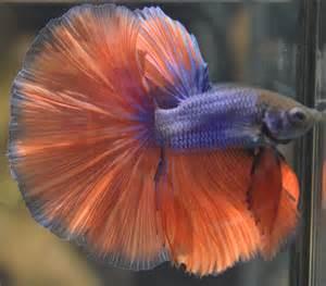 Show Quality Betta Fish