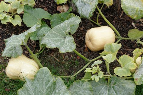flowers that grow in the summer growing butternut squash how to grow butternut squash plants