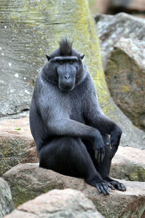 Crested Black Macaque Monkey
