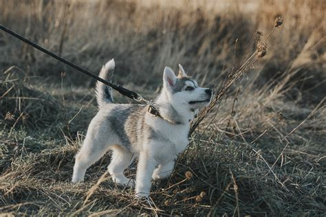 where to adopt a puppy puppy hilo the siberian husky pup daily tag