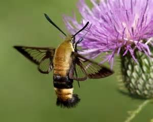 That Looks Like Moth Bee Hummingbird