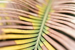 Palme Gelbe Blätter : palmfarn pflanzen pflegen vermehren und mehr ~ Lizthompson.info Haus und Dekorationen