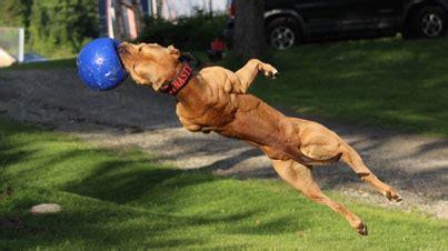 super pitbull   pounds  pure badass videojpg
