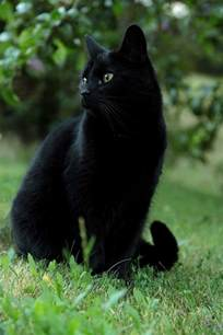 black cats for top 25 best black cats ideas on black