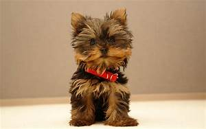 cute yorkie puppy | DOGS, PUPPIES, NAMES, BREEDS, TRAINING ...