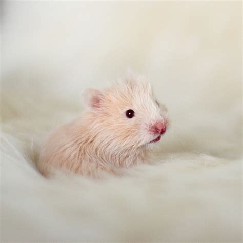 baby hamster cream syrian hamster baby flickr photo sharing