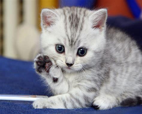 images d chaton mignon photo de chat