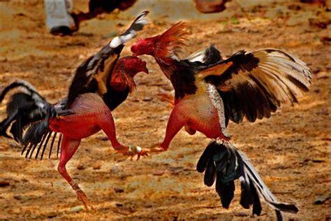 Situs berita vnexpress yang dikelola. Ayam Mana Lebih Kuat? Ayam Bangkok, Filipina Atau Vietnam