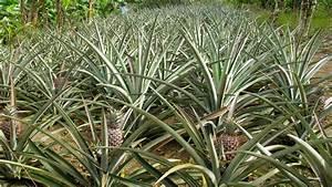 Plant D Ananas : growing pineapple plants ~ Melissatoandfro.com Idées de Décoration