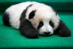 Cutest Face-Plant Ever? Baby Panda Falls Off Stage ...