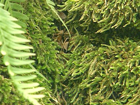 type of moss quot how does your garden grow quot types of moss outdoors home garden television