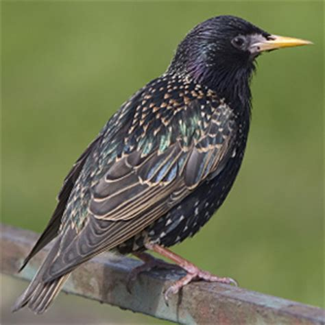 problem birds european starling pigeon english sparrow