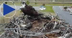 Osprey nest cam live