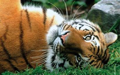 Tigres Leopardos Naturaleza Wallpapers Imagenes Tigers Fondo