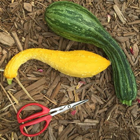 Zucchini Chips - The Patchy Lawn