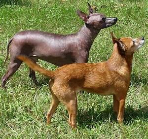 Xoloitzcuintle – Wikipedia