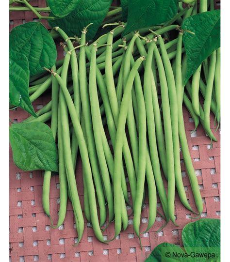 cuisiner les haricots mange tout boites de graines a semer de haricots nain mangetout calypso