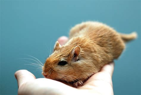 Which Small Rodents Make Good Pets?
