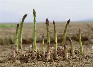 How to Grow Asparagus - Tips and Tricks