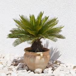 palmen pflanzen und pflegen mein schoner garten With französischer balkon mit garten palme winterfest