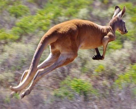 gambar kangguru xtra