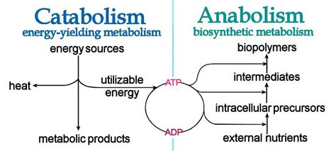 understanding ketogenesis anabolism  catabolism