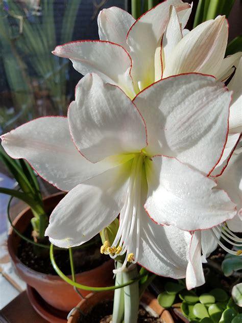 amaryllis plant care growing and caring for amaryllis