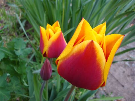 tulipano fiore piantare i tulipani bulbi come piantare i tulipani