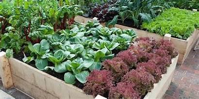 Vegetables Grow Garden Vegetable Growing Gardening Backyard