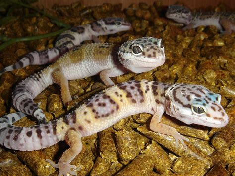 Do Baby Leopard Geckos Shed by Leopard Gecko The Of Animals