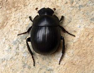 Two New Species Of Mysterious Scarab Beetles Found In