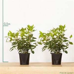 Laurier Tin : laurier tin pot de 2 litres gamm vert ~ Mglfilm.com Idées de Décoration