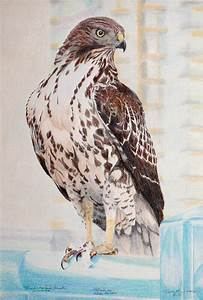 The gallery for --> Red Tailed Hawk Drawing