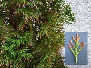 Lebensbaum Wird Braun : thuja krankheiten ~ Lizthompson.info Haus und Dekorationen