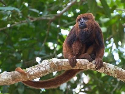 Howler Brown Monkey Wikipedia Alouatta Wiki Northern