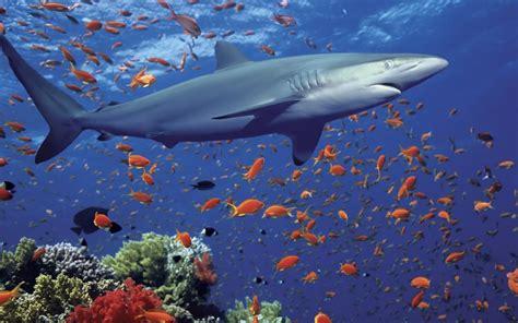 Ocean Reef Shark