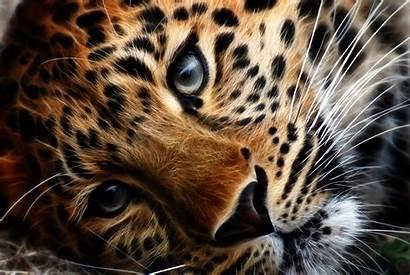Tiger Tigers Wallpapers Leopard Widescreen Desktop Computer