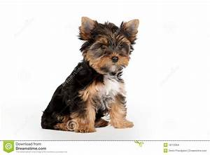 Yorkie Puppy Stock Images - Image: 18712064