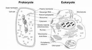 9  Schematic Organisation Of Prokaryotic And Eukaryotic