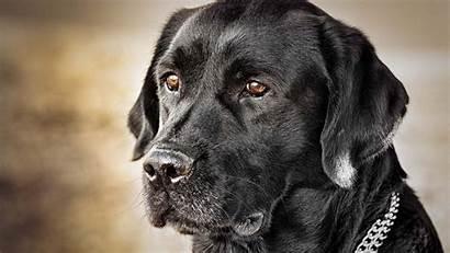 Wallpapers Labs Lab Labrador Dog Desktop Retriever