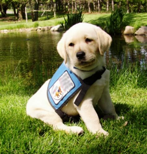 Puppies who Become Service Dogs