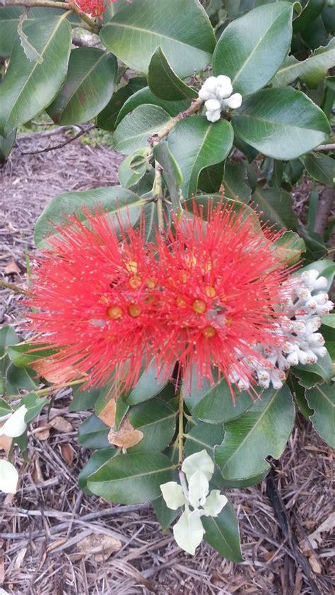168 Best Australian Native Plants 2 Images On Pinterest