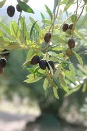 Olivenbaum Stecklinge Kaufen : olivenbaum pflege anleitung schneiden und berwintern ~ Michelbontemps.com Haus und Dekorationen
