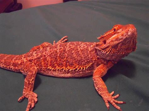 bearded names blood red bearded dragon my pet dragon off topic linus tech tips concepts pinterest