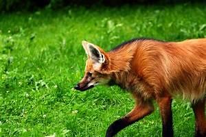 Maned wolf (Chrysocyon brachyurus).   pgcps mess - Reform ...