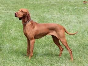 hungarian vizsla temperament and training pets4homes