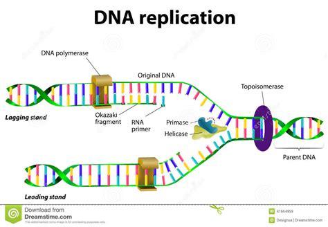dna replication stock vector image