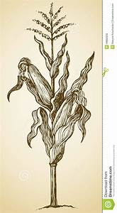 Corn Stalk Illustration images