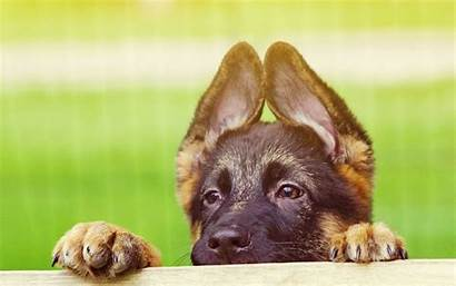 Puppies German Shepherd Wallpapers Amazing Pc Resolution