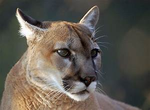 10 Things You Didn U2019t Know About Cougars  15 Pics
